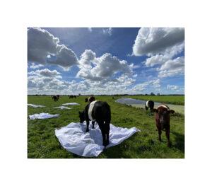 Koeien met lakens en wolken ©Huub van der Loo